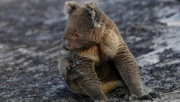 Un koala herido en medio de incendios forestales. (Foto: EFE/AAP/DAVID MARIUZ)