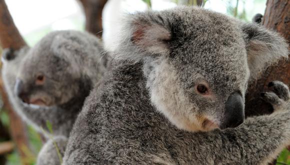 La Fundación Australiana del koala pide que se cree una ley de protección a dicho marsupial. (Foto: Torten Blackwood / AFP)