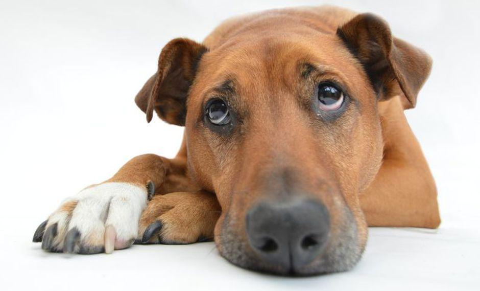 Los perros tienen un oido muy agudo y desarrollado que son capaces de percibir sonidos a larga distancia (Foto: Pixabay)
