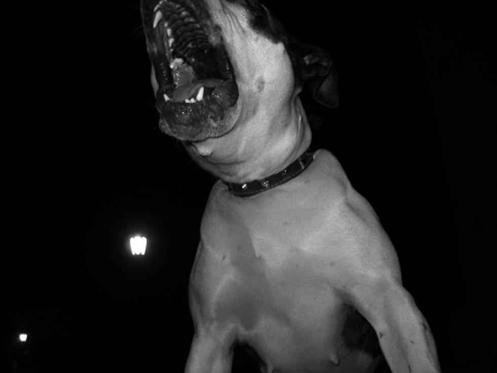 Horror: Mujer muere devorada por su perro pitbull en Argentina. (Getty)