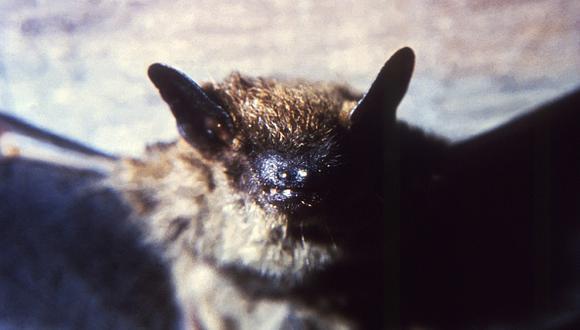 Investigaciones científicas que consideran que el coronavirus podría tener origen en estos mamíferos.  (Getty)