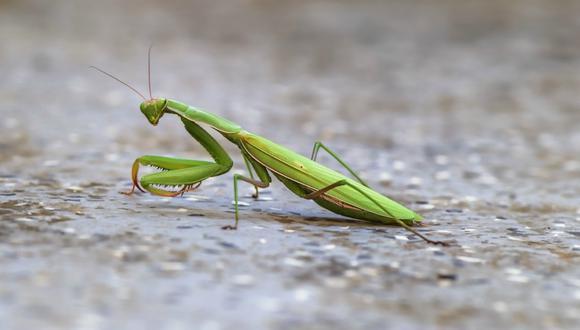 Las mantis religiosas se caracterizan por ser unas silenciosas cazadoras que se acercan a sus presas con movimientos lentos o esperan camufladas para atacar. (Foto: Referencial / Pixabay)