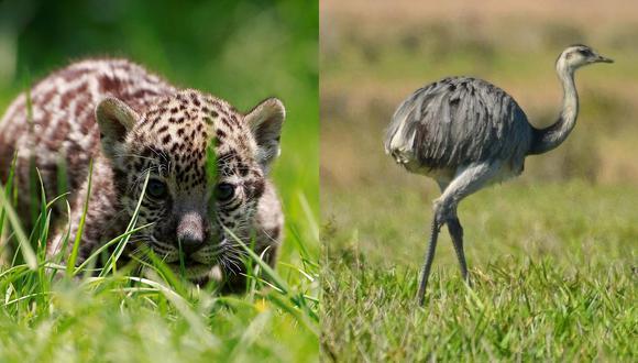 Las monedas alusivas al jaguar y al suri fueron puestas en circulación en 2018 con una emisión de 10 millones de unidades cada una. (Foto composición: (EFE / GEC)
