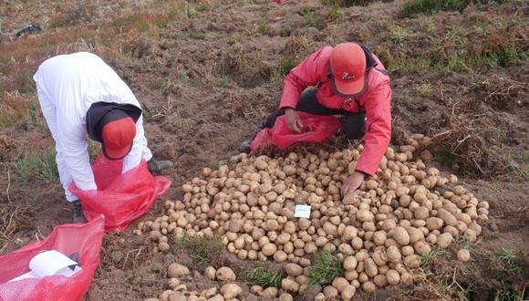 La nueva variedad del tubérculo fue desarrollada por agricultores, reproductores y científicos en Perú.