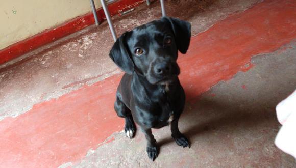 'Pirata' es un perrito que se ha perdido en San Martín de Porres y que necesita de tu apoyo para volver a su hogar.
