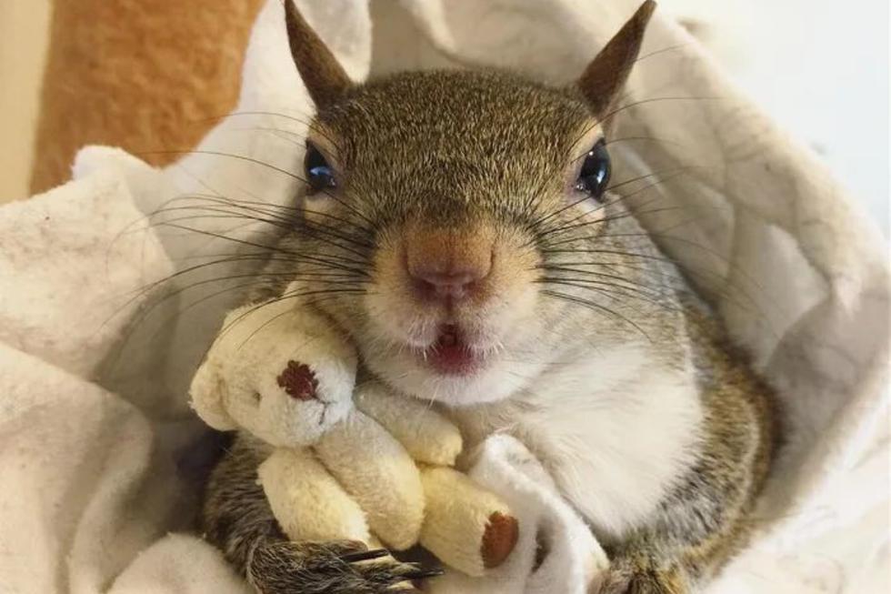 El animal se ha convertido en toda una estrella en redes sociales con las publicaciones que protagonizado junto a su inseparable amigo de felpa. (Foto: @this_girl_is_a_squirrel en Instagram)