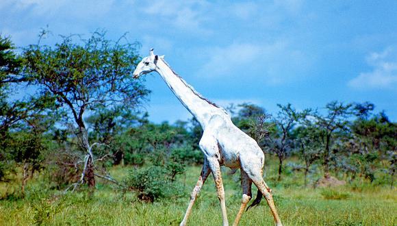 Dos jirafas completamente blancas, únicas en Kenia, fueron asesinadas por cazadores furtivos. (Getty/Referencial)
