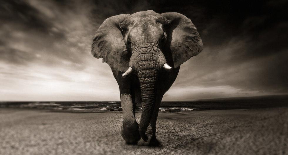 Un ágil elefante fue captado haciendo un enorme esfuerzo para sortear un obstáculo que le impedía saciar su antojo de fruta. (Foto: Pixabay/Referencial)
