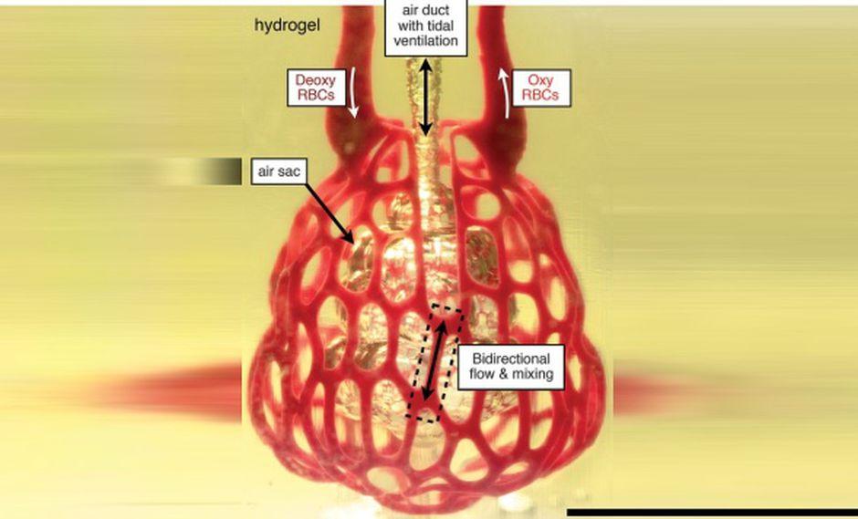 La técnica de impresión de órganos en 3D podría sustituir las partes del cuerpo cuya función es suministrar sangre, linfa, oxígeno y otros elementos como los nutrientes. (Foto: Ilustración de la revista Science)
