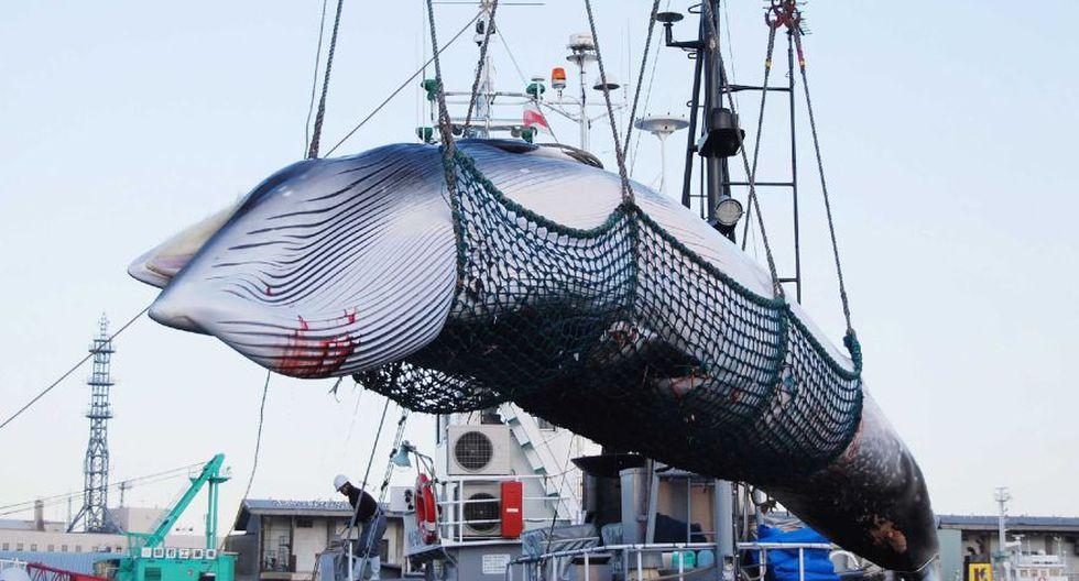 Japón retoma la caza comercial de ballenas tras 30 años de interrupción. (AFP)