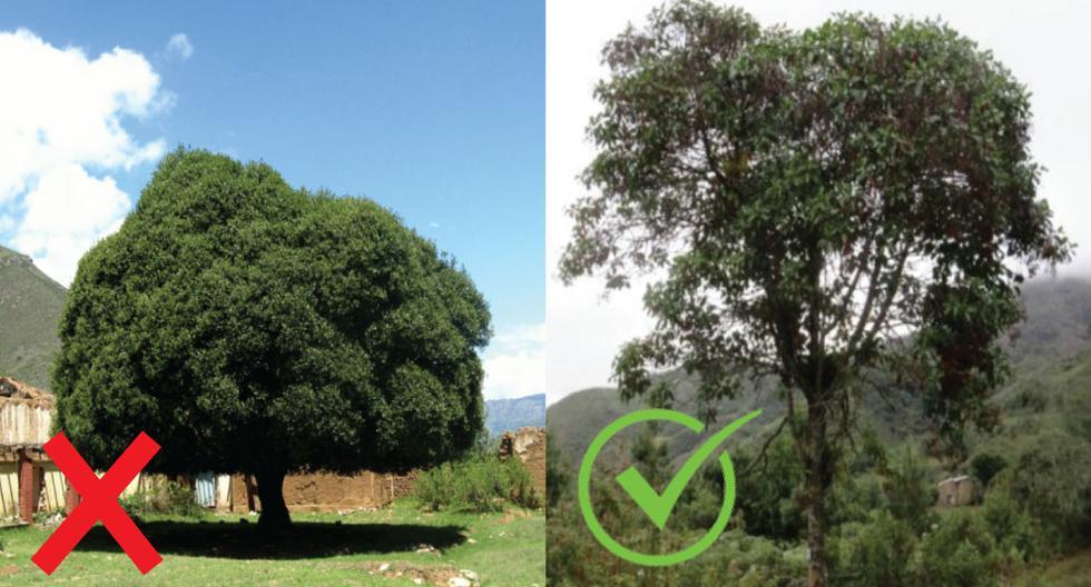 A la izquierda el árbol que era presentado como el árbol de la quina, a la derecha el verdadero aspecto de esta especie. (Difusión)
