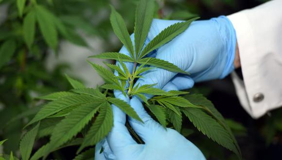 Planta de Cannabis. (Foto: AFP)