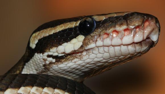 Serpiente Pitón. (Foto: Sipa /Pixabay)