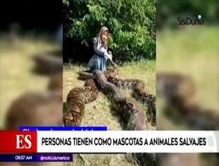 "Indonesia: adolescente tiene como ""mascotas"" a seis pitones gigantes"