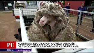 Australia: oveja salvaje fue encontrada después de cinco años con 35 kilos de lana