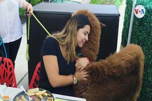 Alpacas peruanas ofrecen ternura en Estados Unidos