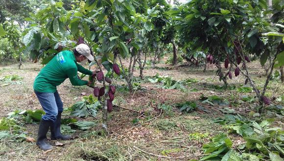 Los agricultores tienen en total 355 hectáreas dedicadas al cultivo del cacao y yuca, esta última para obtener fariña, una harina que es base de la alimentación de la comunidad tikuna. (Foto: Devida)