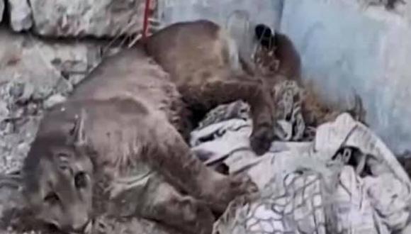 Pumafue encontrado el jueves tras ser visto durante dos días deambulando por el distrito de Cerro Colorado. (Captura: Captura Canal N)