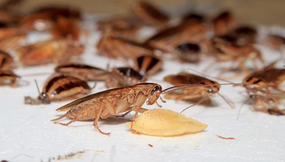 ¿Intolerante a la lactosa? 'Leche' de cucaracha se convertiría en el nuevo superalimento. (Getty)