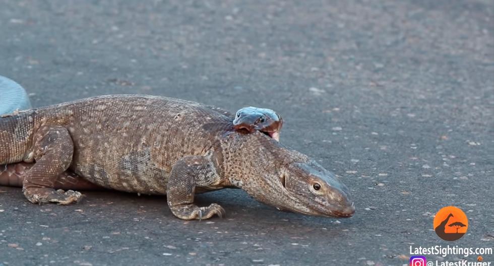 Video muestra la ferocidad del ataque de una cobra venenosa a un lagarto en Sudáfrica. (Foto: YouTube|Kruger Sightings)