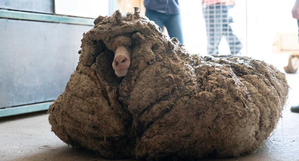 Australia: hallan oveja salvaje con casi 35 kilos de lana y casi ciega
