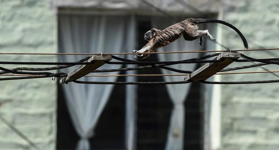 Un Tamarin marrón plateado o un mono titi gris (saguinus leucopus) se representa en Medellín. El saguinus leucopus es una especie en peligro de extinción endémica del norte de Colombia. (Foto: AFP/Joaquín Sarmiento)