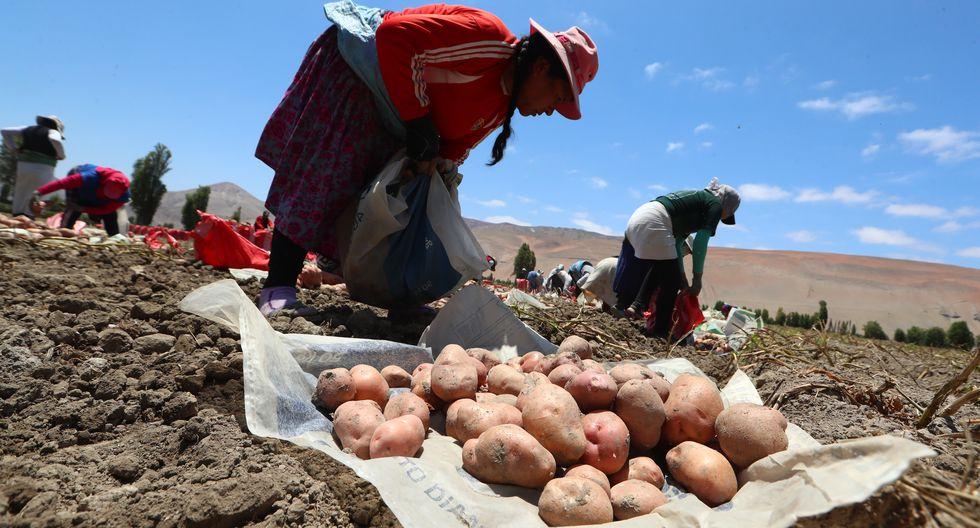 El cultivo de papa a nivel nacional es producido por 711,313 familias. (Foto: GEC)