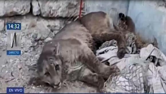 El puma perdido en Cerro Colorado fue encontrado y capturado en el distrito de Cerro Colorado. (Captura: Canal N)
