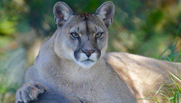 Un video viral muestra el encuentro cercano entre un excursionista y un león de montaña.   Crédito: Pixabay / Referencial