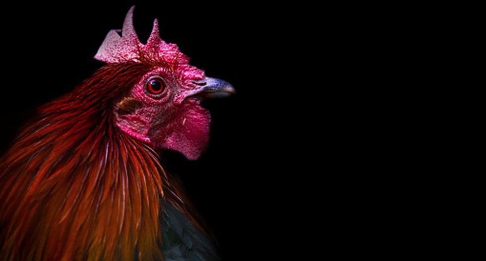 Hombre falleció tras ser atacado por su gallo cuando intentó llevarlo a una pelea clandestina. (Getty)