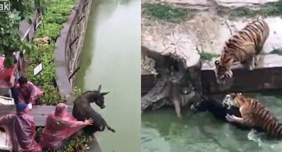Animal fue arrojado para ser alimento de los tigres (Composición)