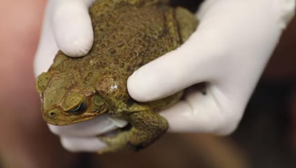 Venenoso sapo de caña pone en alerta a los conservacionistas de Australia. (Captura de pantalla)