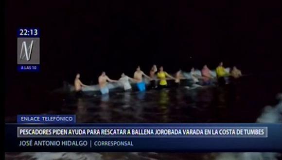 Una ballena jorobada quedó varada en la playa de El Ñuro en Los Órganos.
