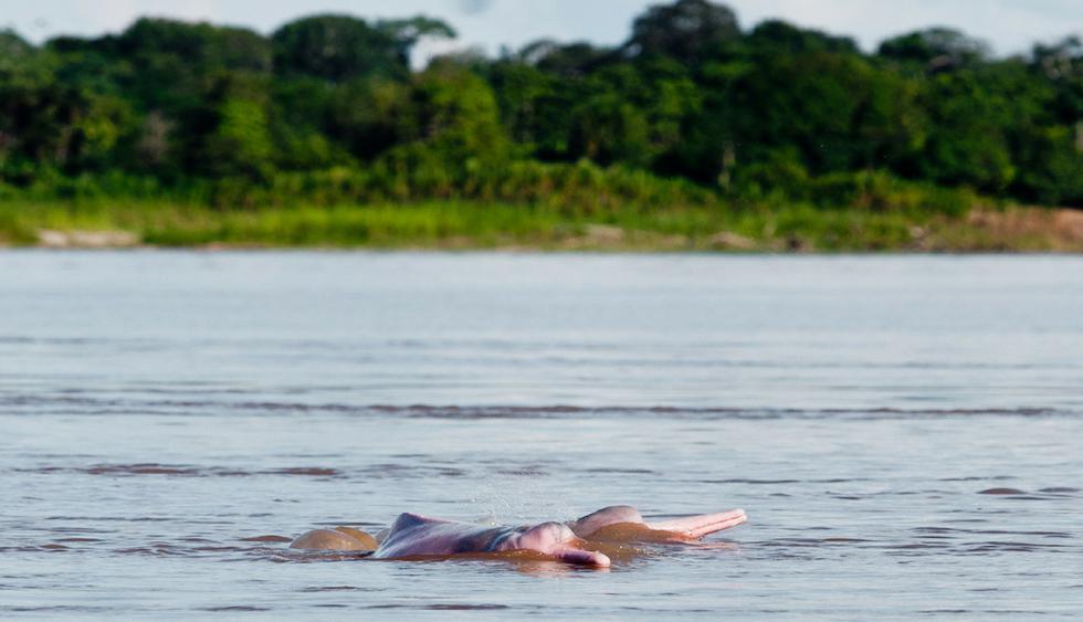 Los delfines rosados o bufeos, en muchos casos, también son considerados sagrados por los habitantes de la selva. (Foto: USI)