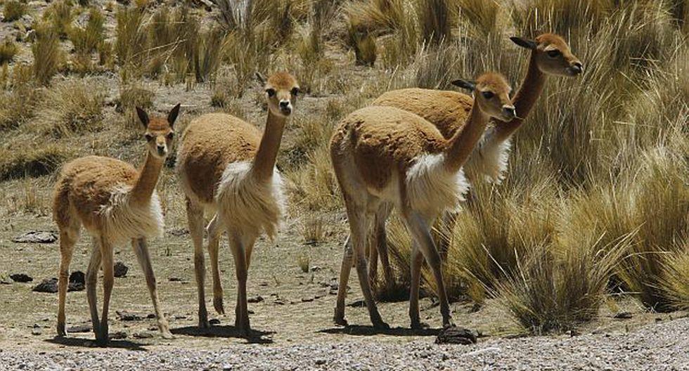 Reserva Nacional Pampa Galeras. (USI)