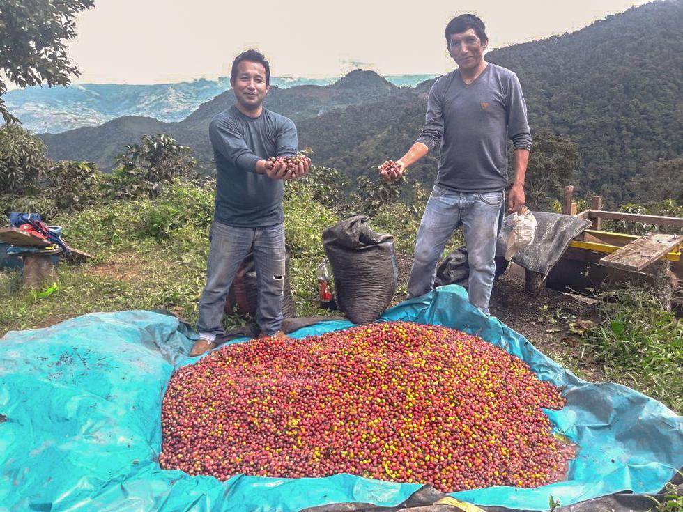 VRAEM: 730 hectáreas de coca fueron reconvertidas a café. (Minagri)