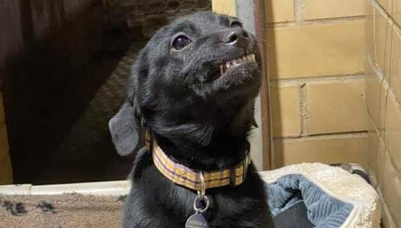Un adorable Labrador retriever se robó los corazones de todos por su estrategia para conseguir un nuevo hogar. (Foto: Humane Society of Northwest Louisiana en Facebook)