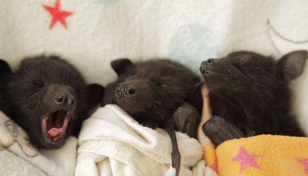 Crías huérfanas de murciélagos al cuidado de la Clínica Australiana de Murciélagos. (Facebook)
