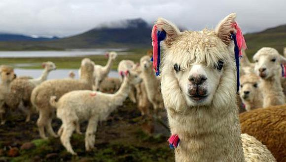 Acuerdo entre Grupo Inca y productora de fibra de alpaca favorece la investigación de este fino producto
