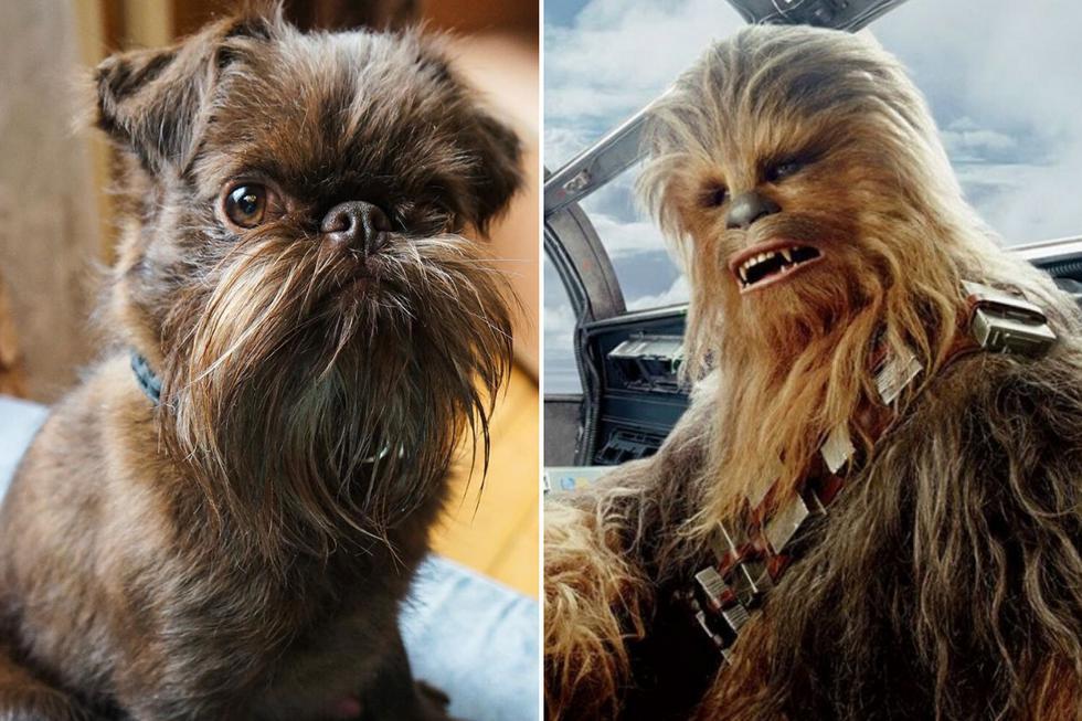 Pese a que recientemente dejó de ser un cachorro, muchos creen que este perro es mucho mayor por su espectacular y frondosa barba. (Foto: petite.griffon.nuts en Instagram)