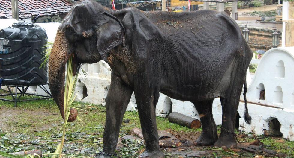 Sri Lanka: La elefanta explotada en país asiático fue retirada de festival religioso. (Foto: AFP)