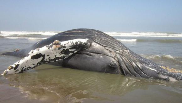 Las ballenas jorobadas se reproducen en el norte del país. (EFE/Referencial)