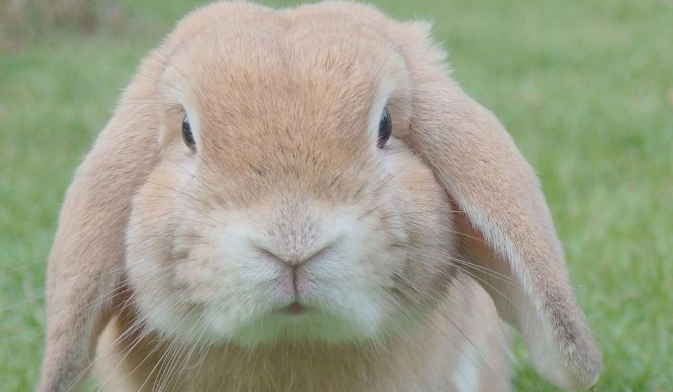 El video del conejo causó tristeza entre los usuarios. (Foto: Referencial - Pixabay)