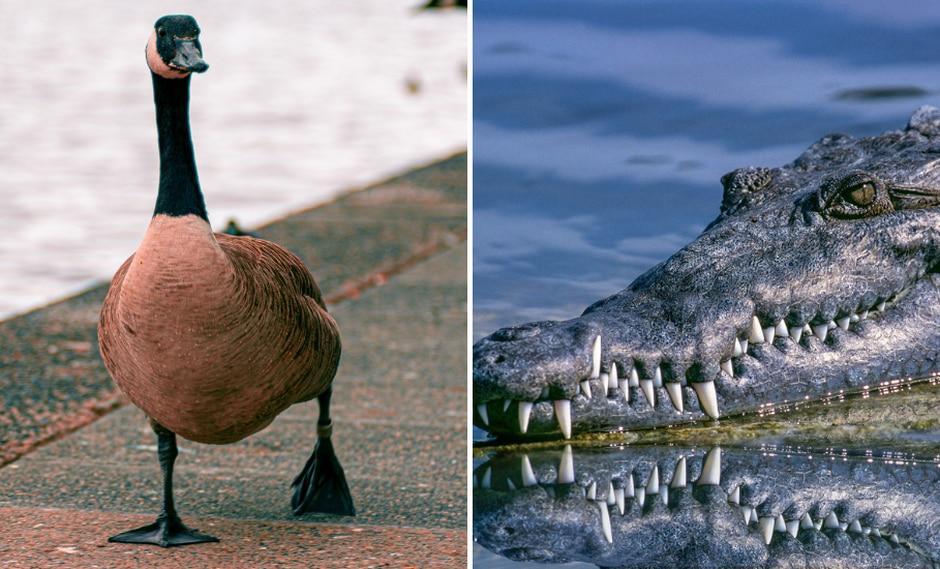 La escena protagonizada por el reptil y las aves desató toda clase de reacciones en Internet. (Foto: Pixabay/Pexels/Referencial)