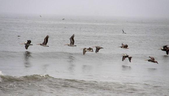 GRAN SORPRESA. Aves marinas llegaron atraídas por la anchoveta. (Alan Benites)