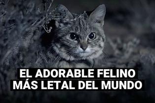 """Gato patinegro: El """"adorable"""" felino considerado el más letal del mundo"""