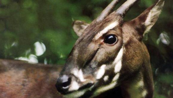 Este animal  fue descubierto en mayo de 1992 en Vietnam. (WWF)
