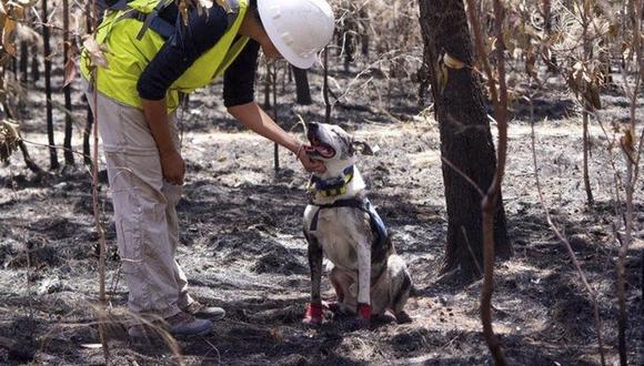 Bear, el perro que busca a koalas sobrevivientes entre los voraces incendios de Australia. (Facebook)