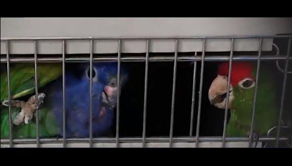 Los loritos frente roja y azul rescatados estaban en jaulas. (Foto: Ministerio Público)