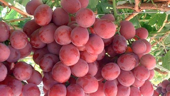 Las ventas de uvas frescas al exterior alcanzaron los US$410 millones entre enero y febrero, y con ello crecieron un 45%. (Foto: GEC)